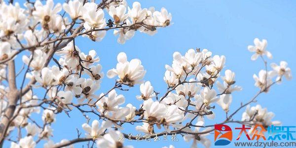 《玉兰花开春天来》:生命就应像玉兰花迎春绽放